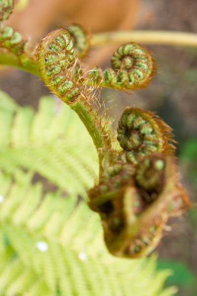 close up of curled up ferns