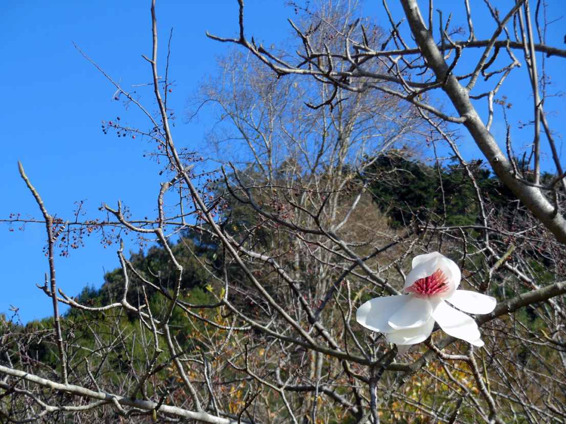 image of the last magnolia flower on the tree