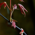 close up photograph of a branch on a small japanese maple tree
